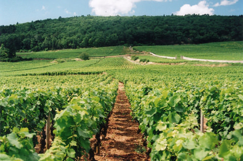 burgundy_vineyards
