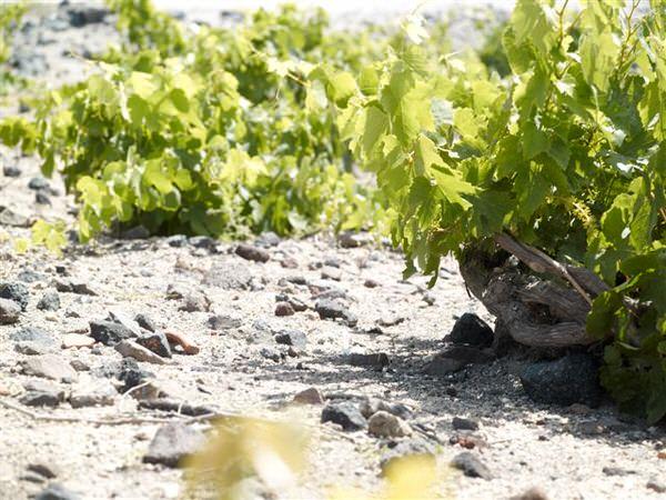 vineyard (2)
